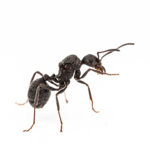 Aphaenogaster senilis – Colonie avec Reine et Ouvrières