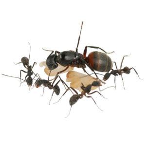 Camponotus cruentatus – Colonie avec Reine et ouvrières