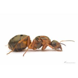Formica sanguinea – Colonie avec Reine et Ouvrières