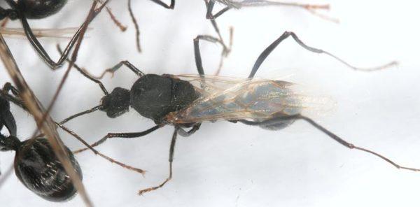 Aphaenogaster senilis - Colonie avec Reine et Ouvrières