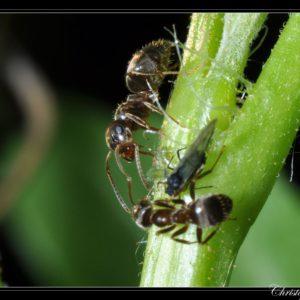 Lasius niger – Colonie avec Reine et Ouvrières