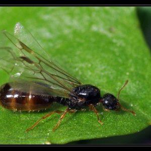 Solenopsis fugax – Colonie avec Reine et Ouvrières