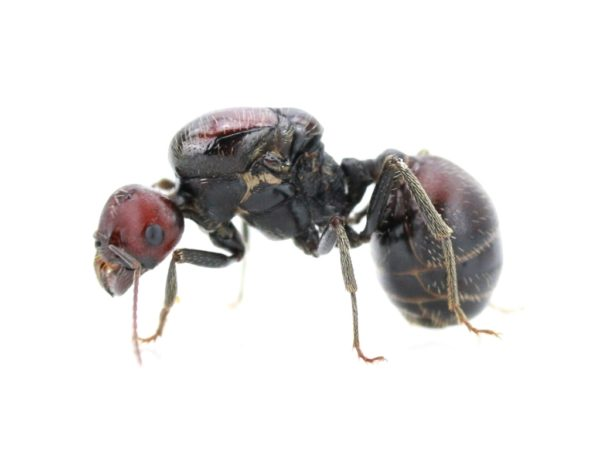 Messor cephalotes - Queen with brood