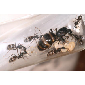 Camponotus aethiops – Colonie avec Reine et ouvrières