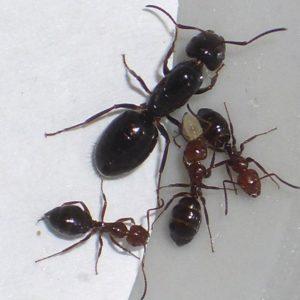 Camponotus lateralis avec Reine + 1 à 3 ouvrières