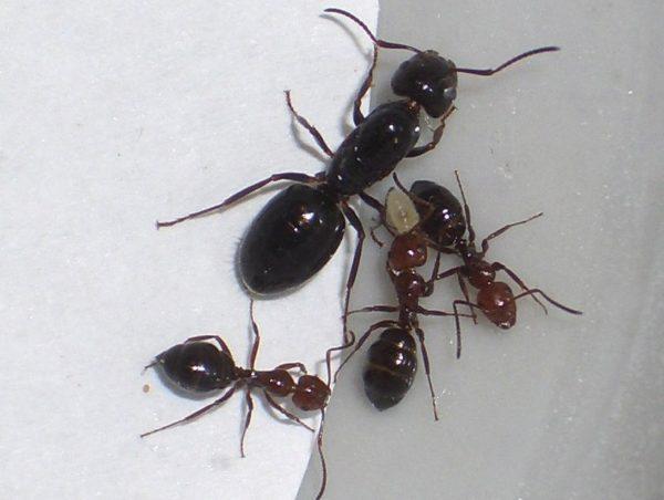 Camponotus lateralis avec Reine + 0 à 3 ouvrières
