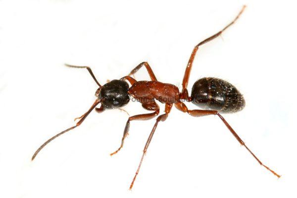 Camponotus ligniperdus - Colonie avec Reine et ouvrières