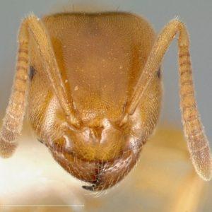Lasius flavus polygyne – Colonie avec plusieurs Reine