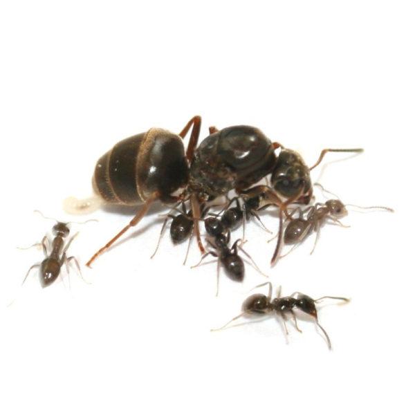 Lasius niger - Colonie avec Reine et Ouvrières
