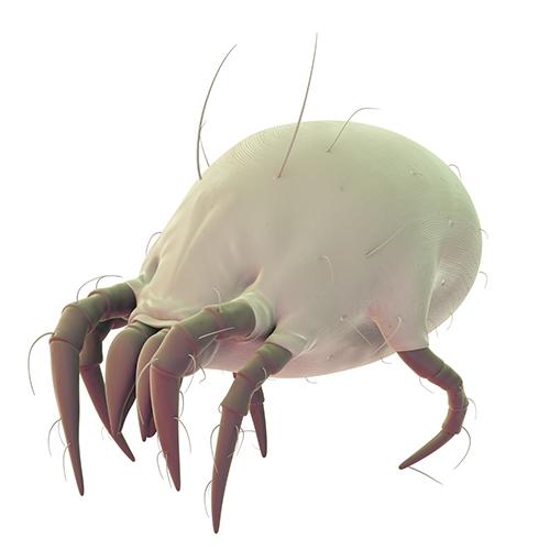 acarien fourmis
