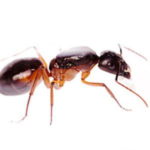 Kit découverte : Camponotus sanctus