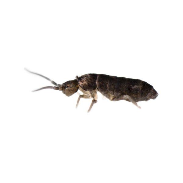collemboles fourmis