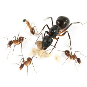 Camponotus fellah – Colonie avec Reine et ouvrières