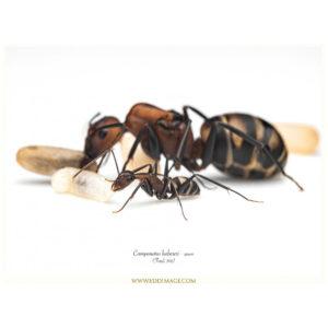 Camponotus habereri – Colonie avec Reine et Ouvrières