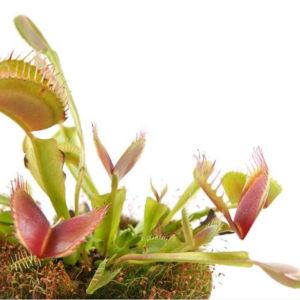 Kit Terrarium à plantes Carnivores LED 15cm