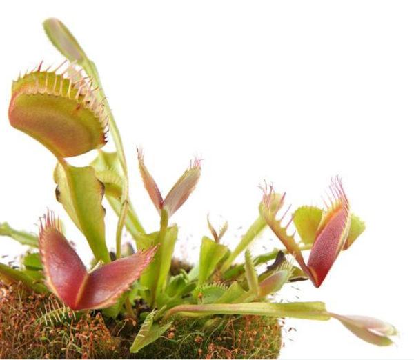 1 / 1 – Dionaea-fond-blanc.jpg