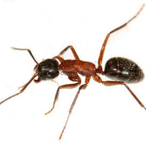 Kit fourmi géante Camponotus – Module liège