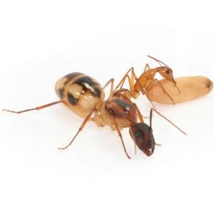 Camponotus maculatus – Colonie avec Reine et ouvrières