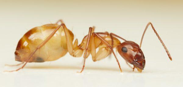 Camponotus-maculatus3-Philip Herbst
